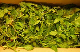 パプリカ葉と茎.jpg